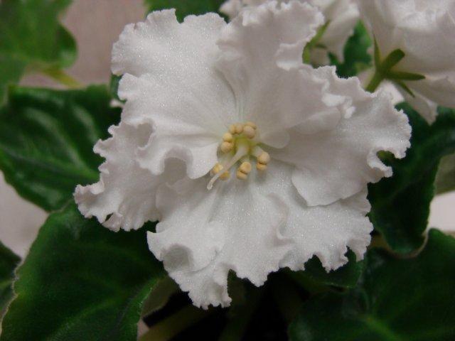 Мои цветочки - Страница 13 C7a8460d0ffd