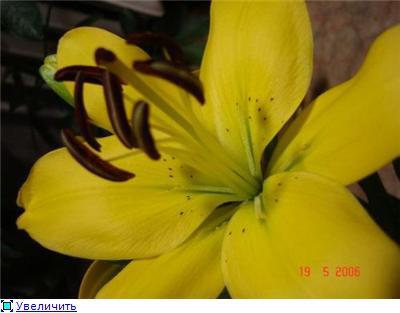 Горшечные лилии 42be8ea903ect