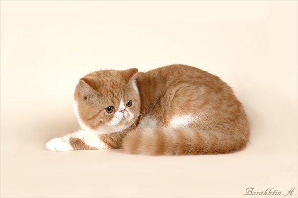 VITAS LITTLE - питомник персидских и экзотических кошек 0cfe89ad77c3