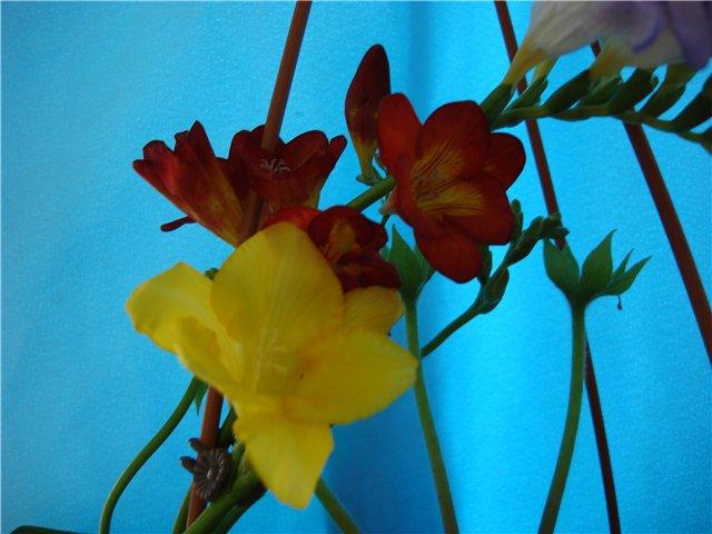 Луковичный цветок фрезия - Страница 2 E0804b1fa41b