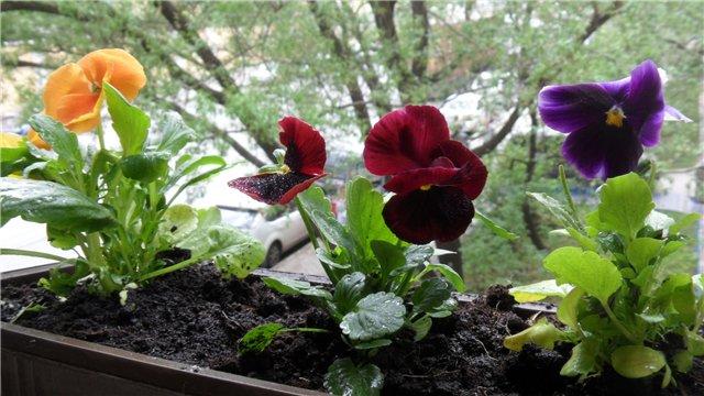 Виола, анютины глазки, фиалки садовые 81200e2bf404