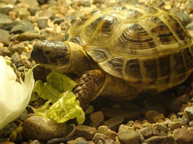 Энциклопедия - ЧЕРЕПАХИ. Виды черепах ( фото и описание ) Все о черепахах. Содержание. Разведение. Кормление.  5d9619bab1ff