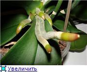 Орхидеи D8f42090f0d0t