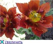 Тюльпаны - Страница 2 1ba031686df4t