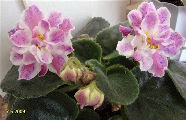 мои любимые цветочки - Страница 2 058554187515