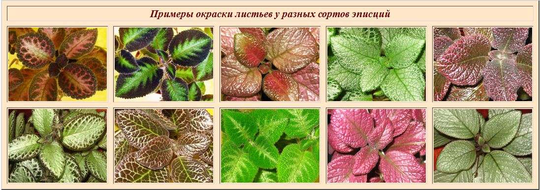 Краткие рекомендации по выращиванию и уходу за эписциями F31bef31d681