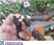 Растения из Сочинского питомника - Страница 3 4445d8719d42t