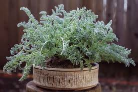 продам семена экзотических растений 93cdc13257d3