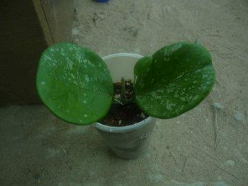 декоротивно-лиственные и красивоцветущие растения - Страница 4 B0b51beae761