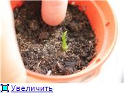 Нолина из семян 7cb21a9cb300t
