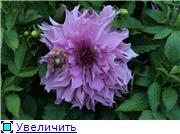 Георгины в цвету F64624c3502bt