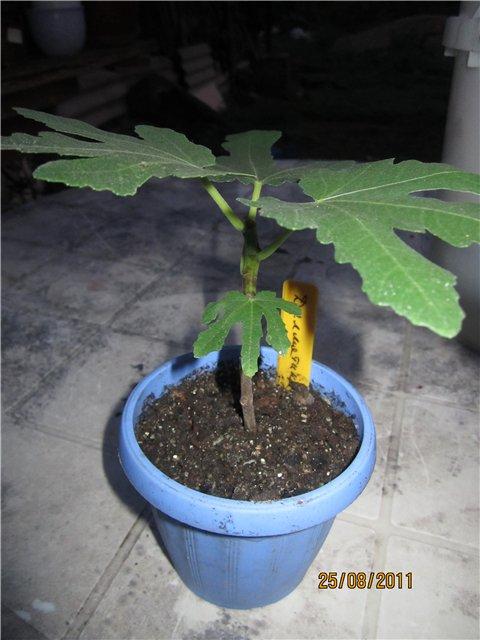 Растения из Сочинского питомника - Страница 3 8b55e5befd11