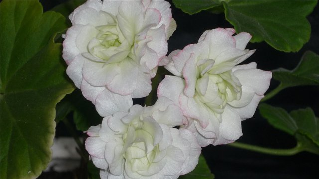 Мои любимые цветочки - Страница 40 Af12ef72ccb7