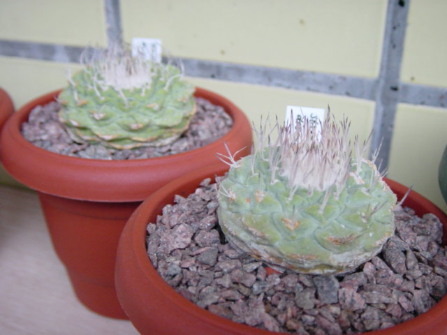 Show us  your cacti - Page 7 8a151dd3595a