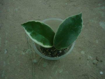 декоротивно-лиственные и красивоцветущие растения - Страница 4 973e105f42d9