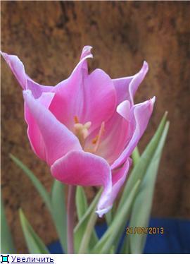 Выгонка луковичных. Тюльпаны, крокусы и др. - Страница 11 67f3954161e2t