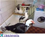 кормление - Мускусные утки (индоутки) - ч.1 - Страница 19 345458435f03t