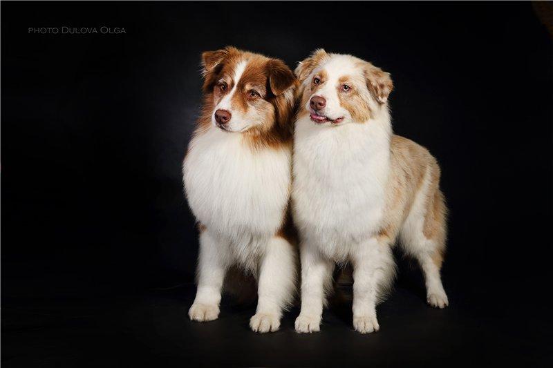 """Питомник """"Aurum Dog"""" - Страница 2 419ff32990c1"""