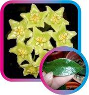 декоротивно-лиственные и красивоцветущие растения - Страница 4 E17b021a810c