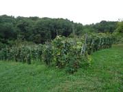 Fotografije vinograda DSC09558