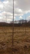 Paulovnija brzorastuće drvo 11029481_1626692567549548_1545694876915469154_n