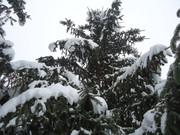 Crnogorične šume DSC01346