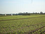 Zelena salata           DSC03916