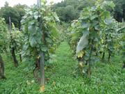 Fotografije vinograda DSC09559