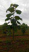 Paulovnija brzorastuće drvo 10610472_1542657252619747_4330690013719665248_n
