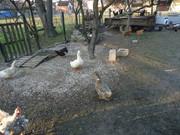 Guske i patke DSC01602