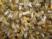 Pčelarstvo     - Page 3 525159_466217873395058_585995429_n