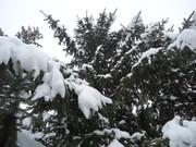 Crnogorične šume DSC01347