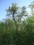 Travnjački voćnjaci  DSC06925