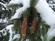 Crnogorične šume DSC01344
