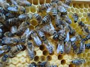 Pčelarstvo     - Page 3 581217_466217916728387_546417699_n