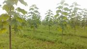 Paulovnija brzorastuće drvo 1623647_1542657379286401_385349801133439961_n