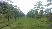 Paulovnija brzorastuće drvo 10569061_1542658052619667_2218926686368374610_n