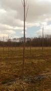 Paulovnija brzorastuće drvo 10551087_1626694110882727_5482178538250631338_n