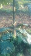 Paulovnija brzorastuće drvo 1609754_1536706806548125_6833959276104525766_n