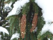 Crnogorične šume DSC01343