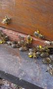 Pčelarstvo     - Page 3 20874_1568189770137277_2472141471601436447_n