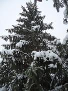 Crnogorične šume DSC01345