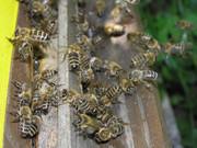 Pčelarstvo     - Page 3 333054_313206032029577_2028551545_o