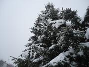Crnogorične šume DSC01348