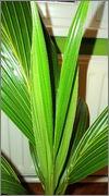 Cocos nucifera - Stránka 3 DSC08096