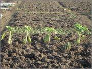 Gnojidba povrća DSC01597