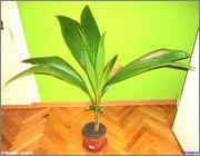 Cocos nucifera - Stránka 4 DSC08324