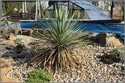 Mrazuodolné juky - rod Yucca - Stránka 5 Thop_2
