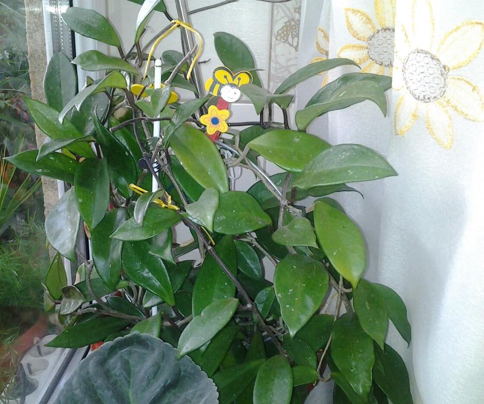 Flori de Hoya - Pagina 13 Hoya