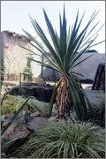 Mrazuodolné juky - rod Yucca - Stránka 5 Gloriosa_trunk_1